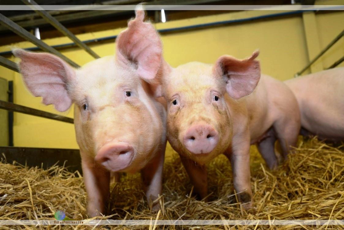 Los cerdos modificados genéticamente son resistentes al virus del PRRS