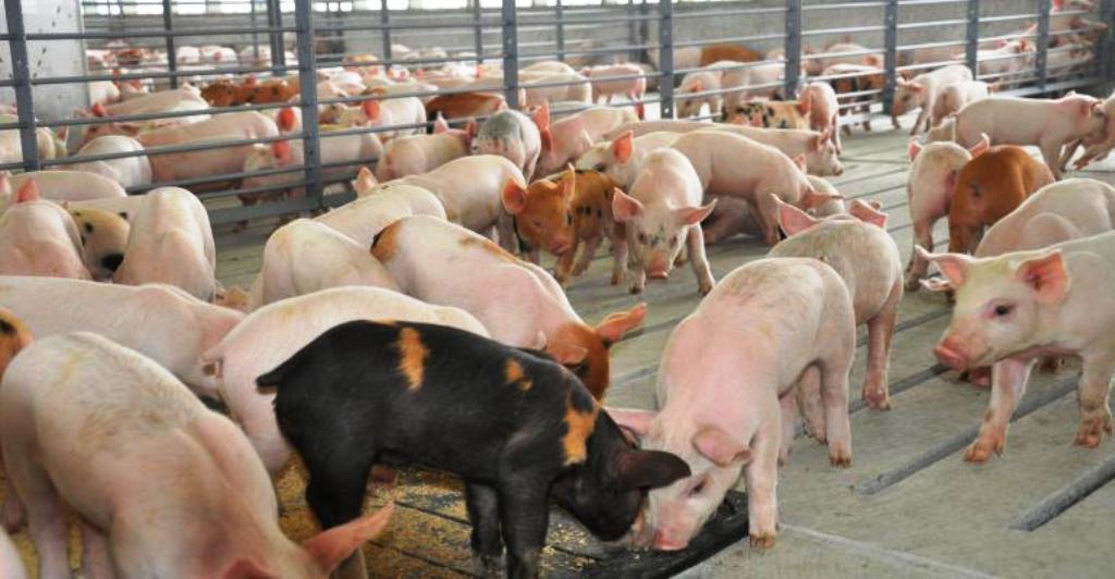 Manual operativo para el adecuado manejo y transporte del ganado porcino (última parte)