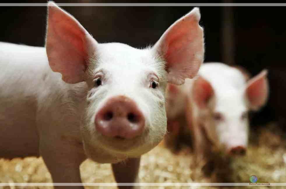 Nuevos fallos sobre la edición genética y como afectará a los productores porcinos