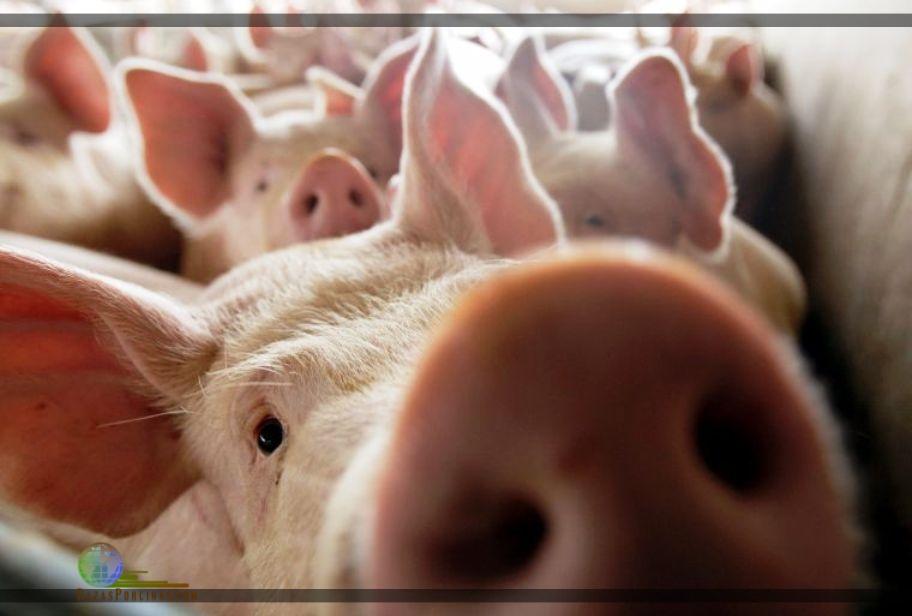 Peste Porcina Africana: la gestión de riesgo debe centrarse en la prevención.