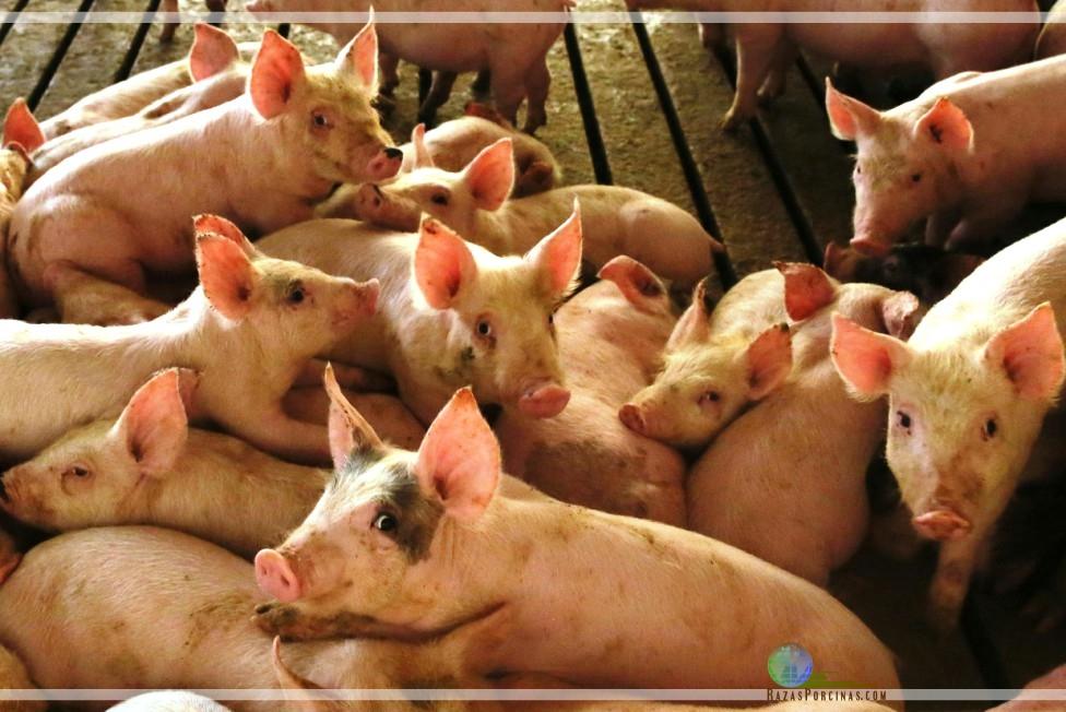 Propiedades del Butirato sódico en las dietas de porcinos