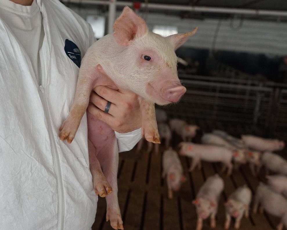 Se ponen en marcha tres laboratorios de inseminación artificial porcina