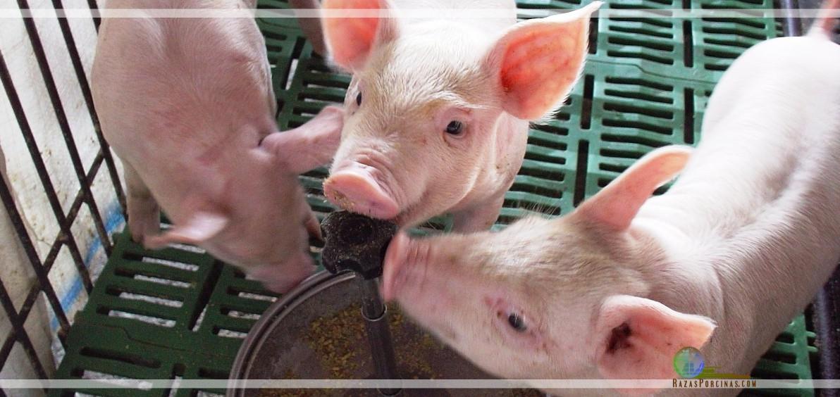 Resultado de la utilización del Butirato sódico en las dietas de porcinos