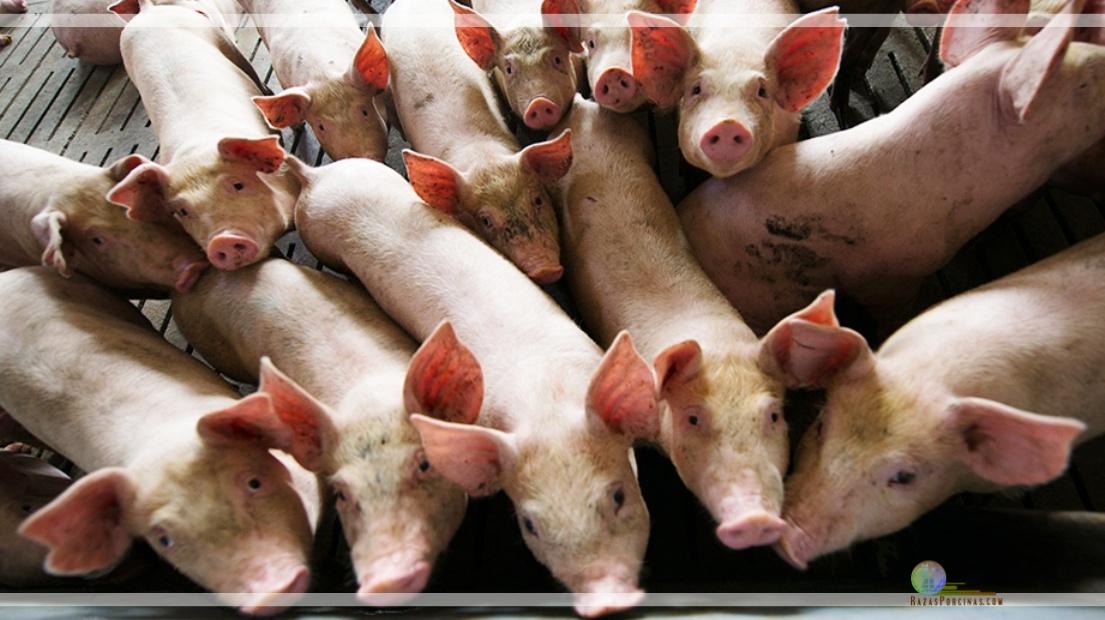 Vacunación obligatoria contra la peste porcina clásica.