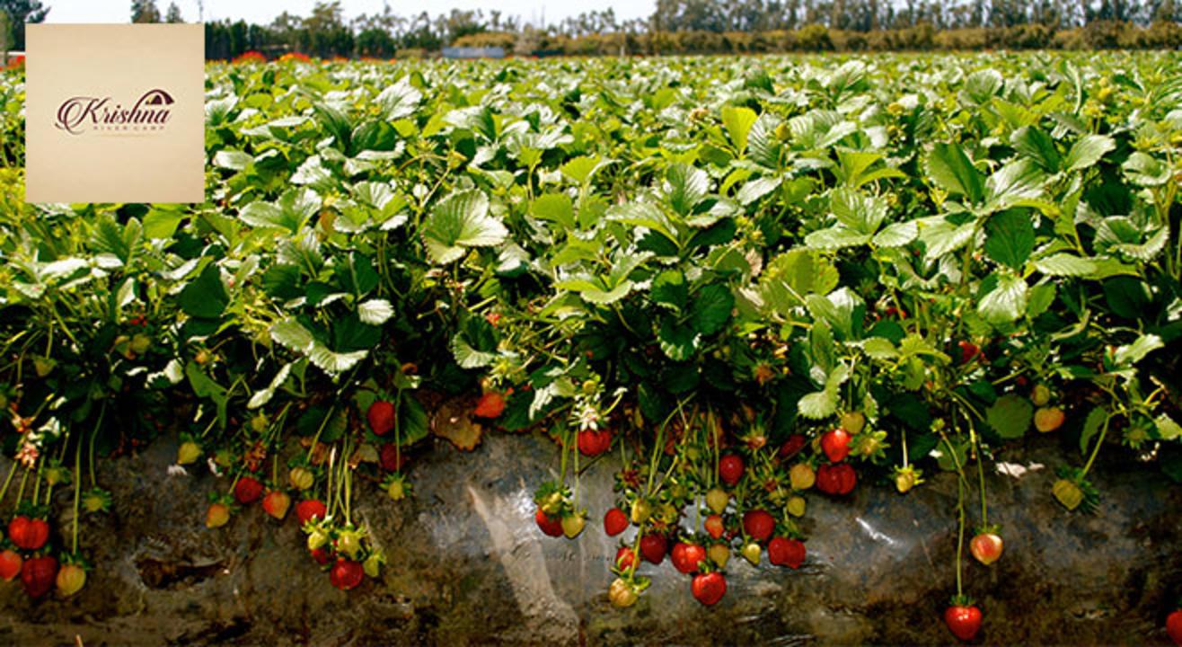 book tickets to strawberry plantation