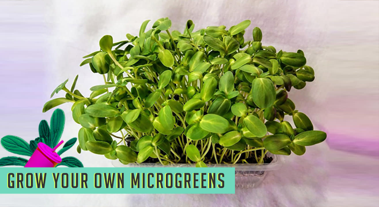 Grow Your own Micro Greens  At The Lil Flea