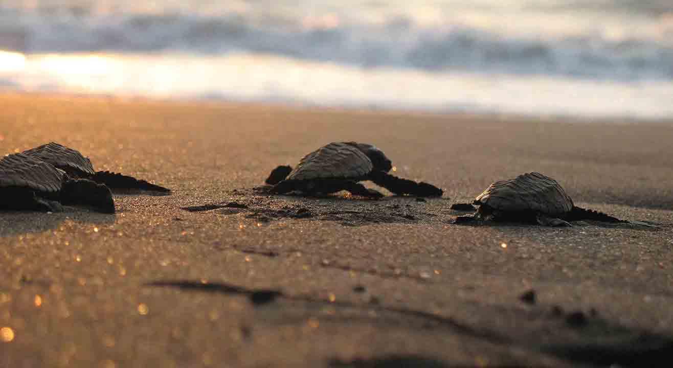 Velas Turtle Festival | Adventure Geek