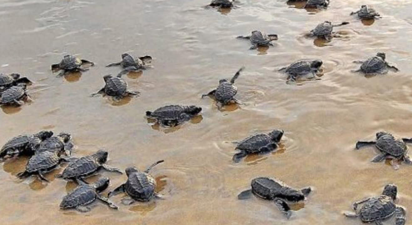 Velas Turtle Festival | 99Hikers