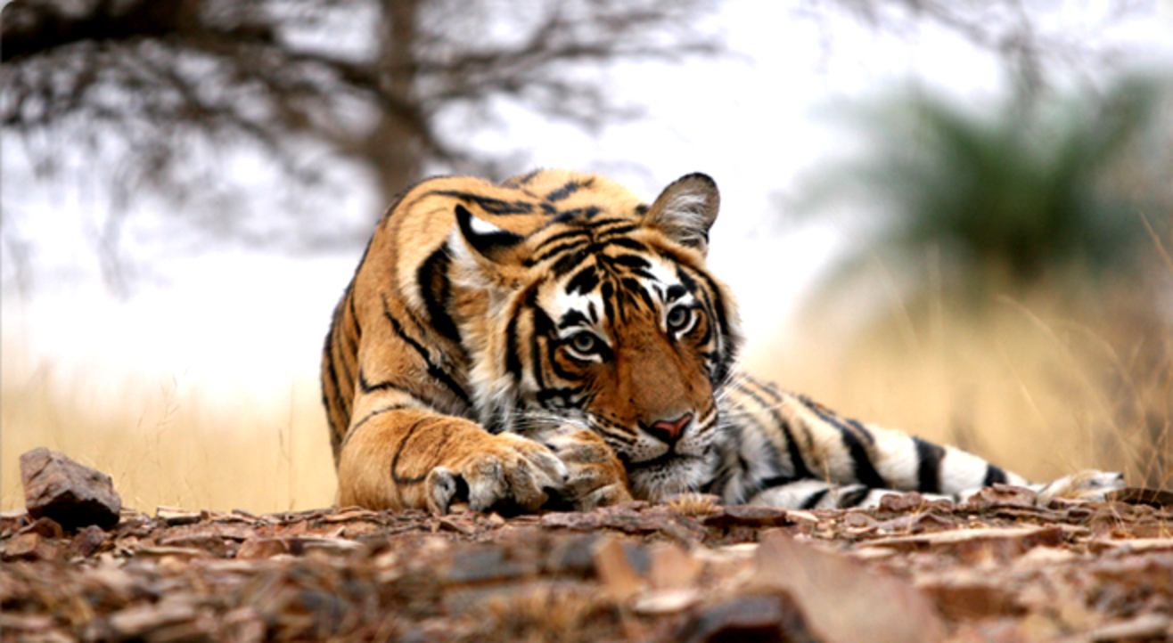 Ranthambore National Park Wildlife Safari