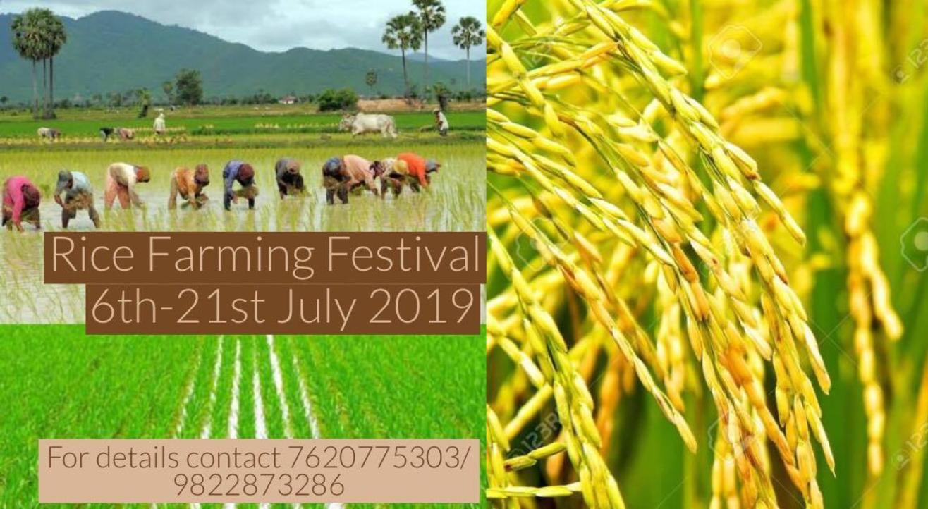 Rice Plantation (भात लावणी) with the Farmers