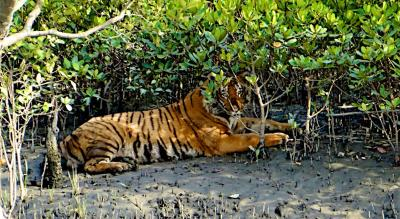 Let's Go to The Sundarbans: Where Tigers Hide Amidst Mangroves