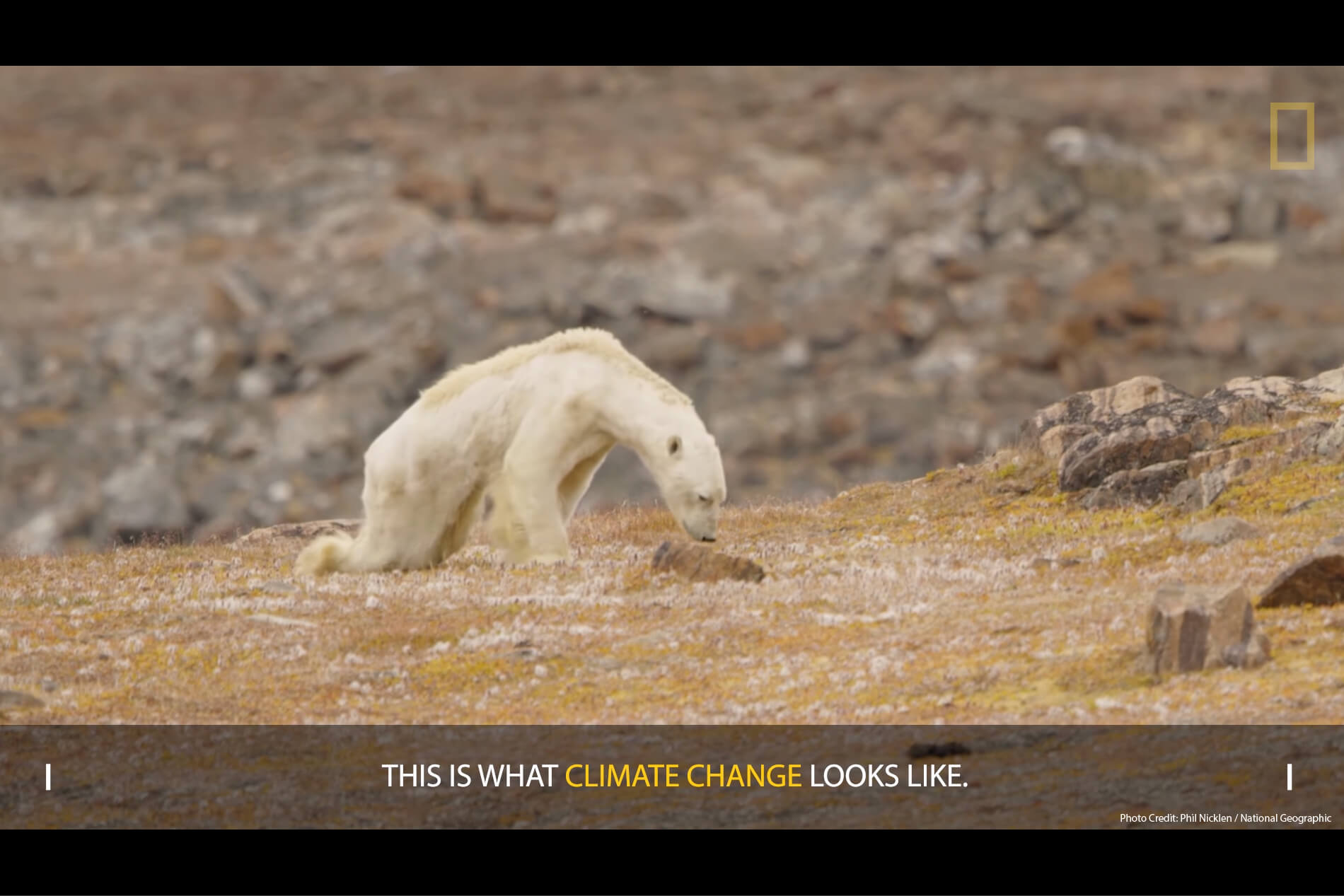 Starving polar bear due to climate change