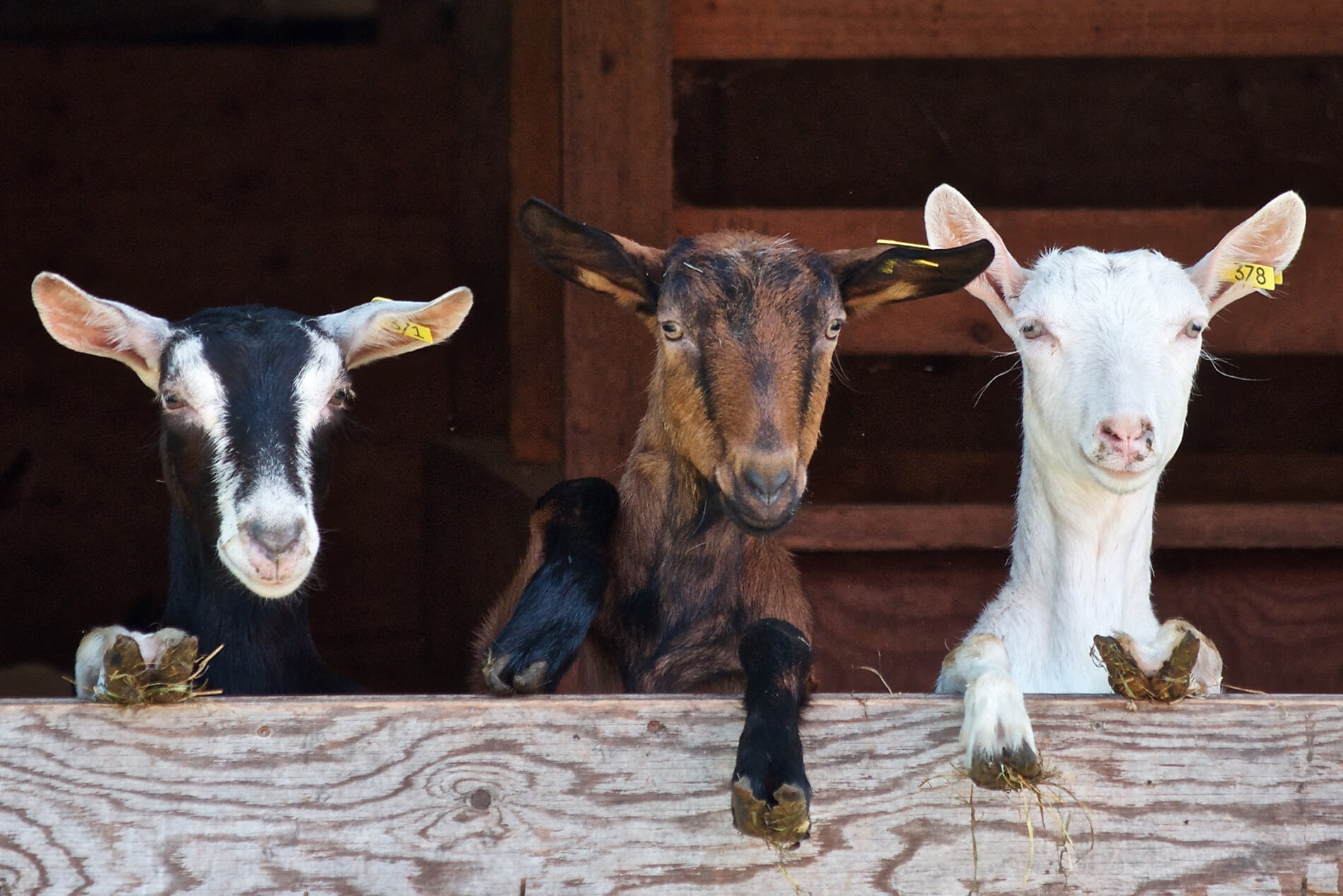Utah goat farm provides halal meat for refugees
