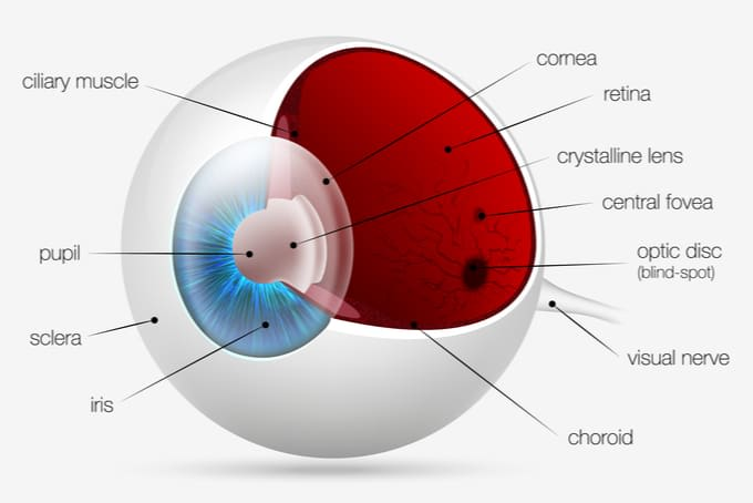 anatomy of eye singapore