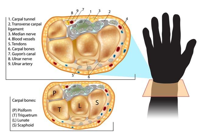 cross section of wrist