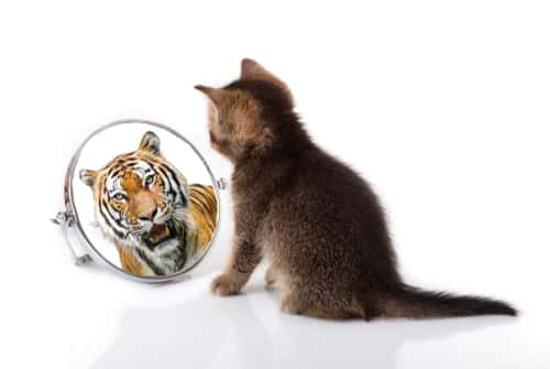 Cat looking in mirror to see tiger