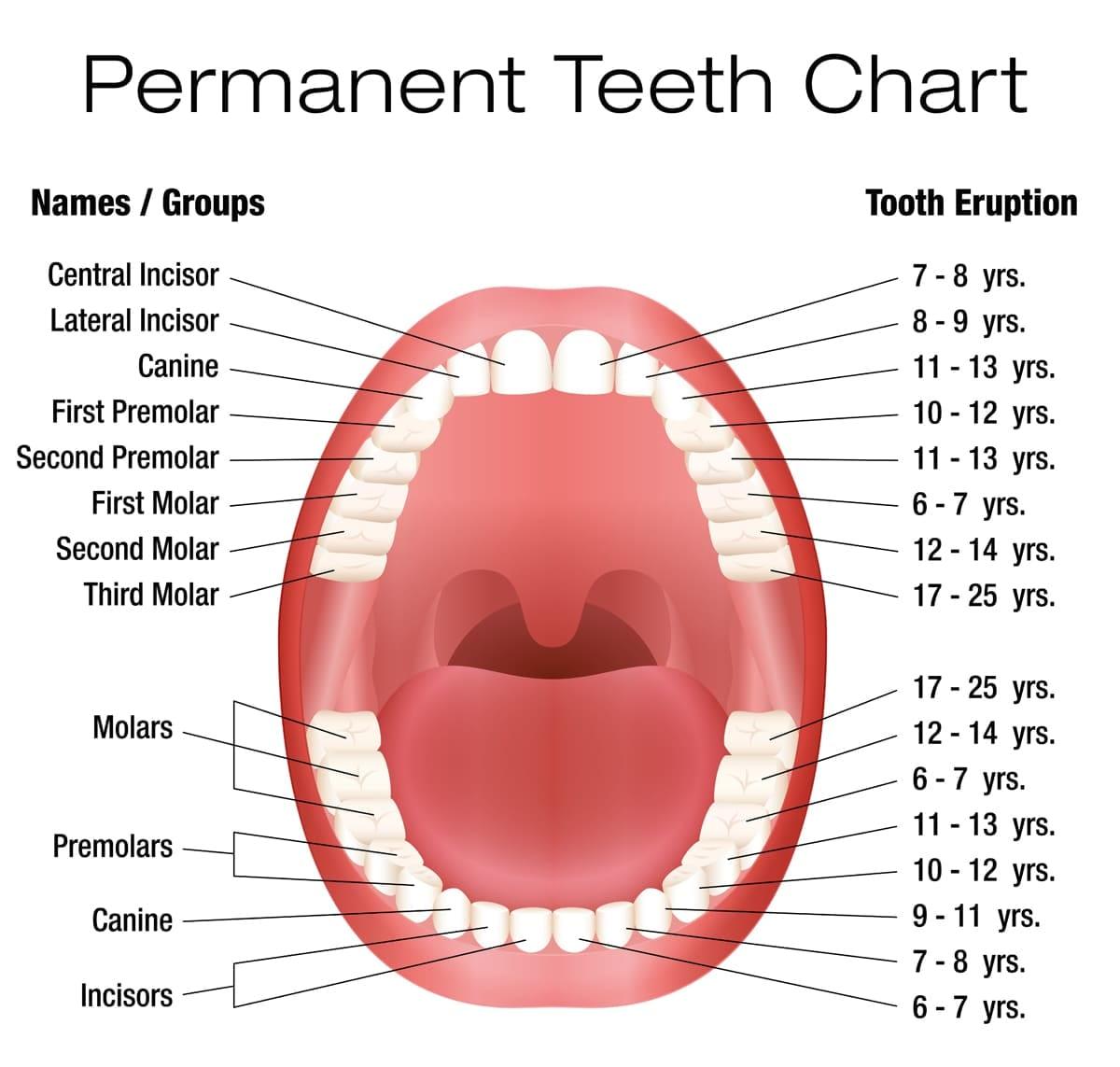 illustration showing children's teeth growth