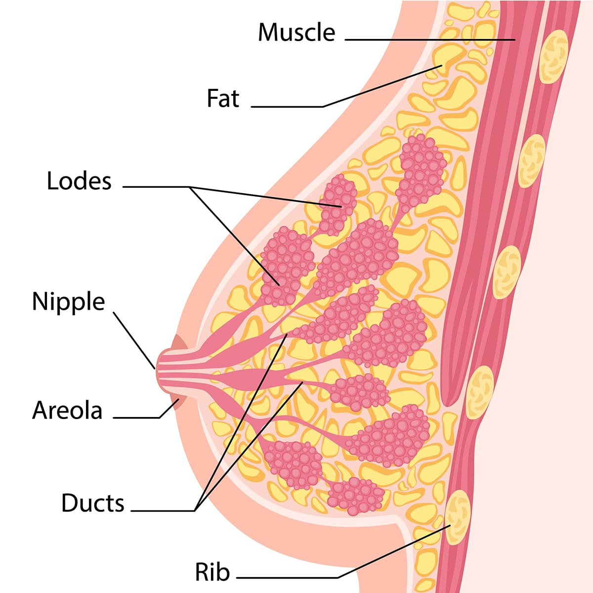 diagram of a breast's structure