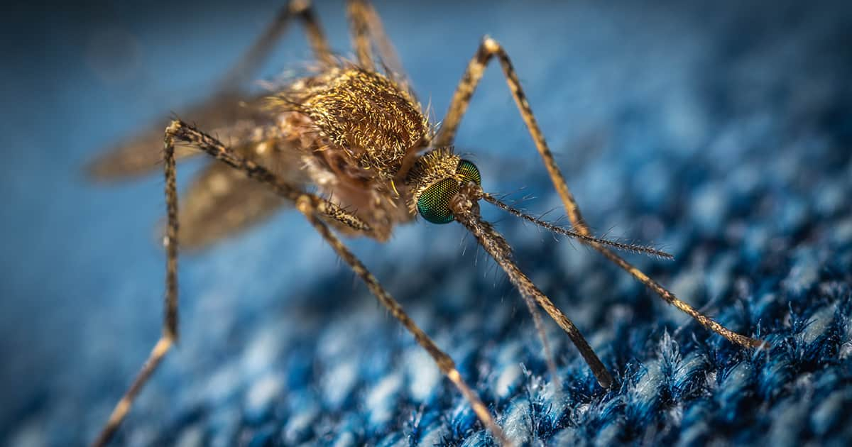 mosquito close up