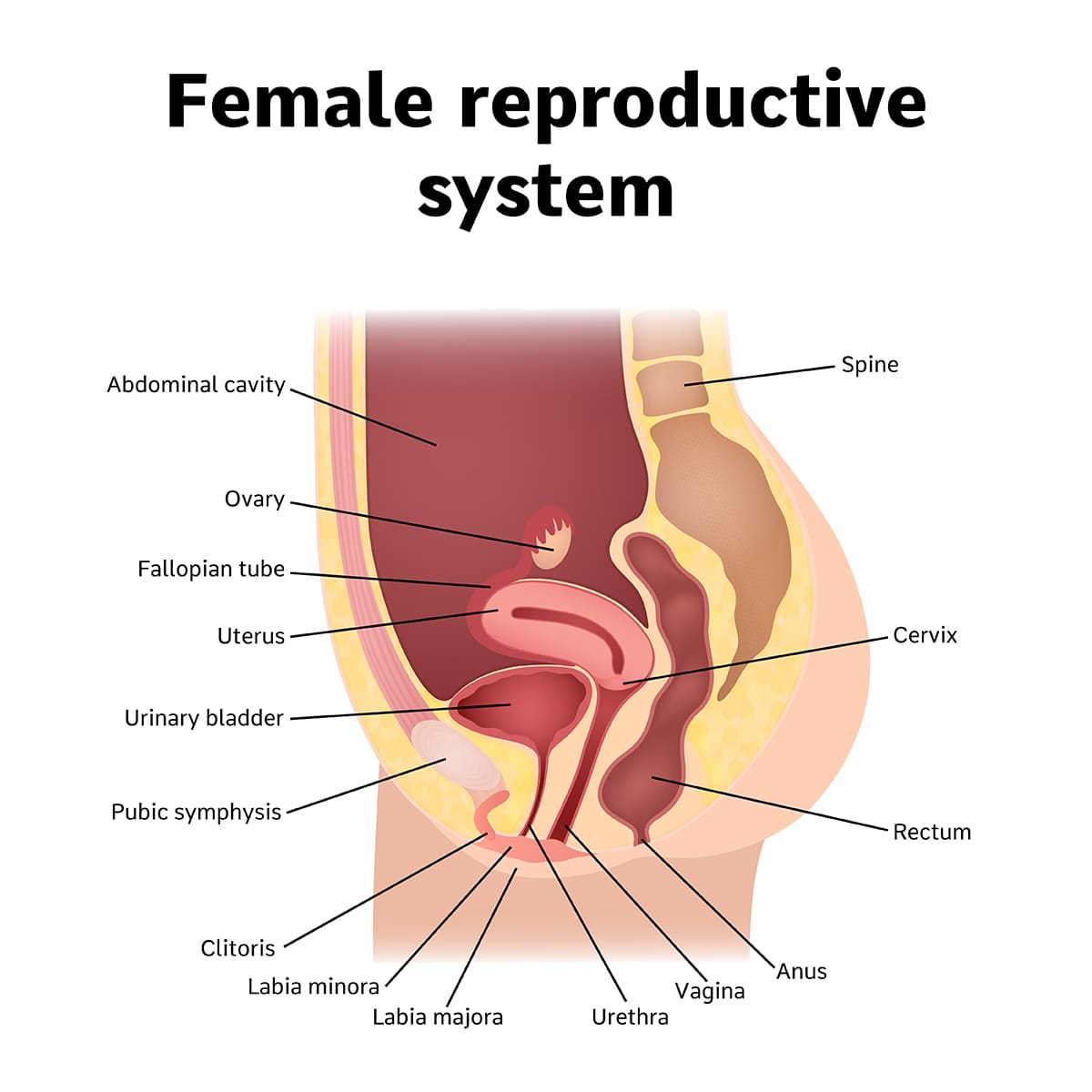 illustration of the female reproductive organs side view
