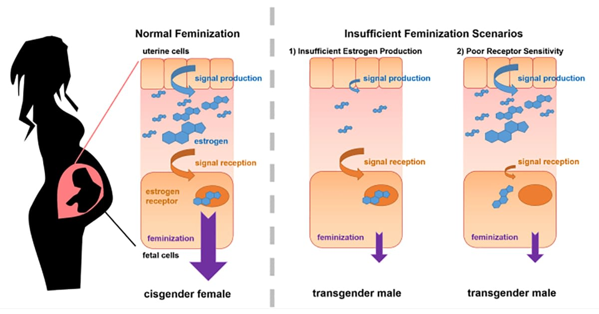 illustration of genetic influences of gender dysphoria