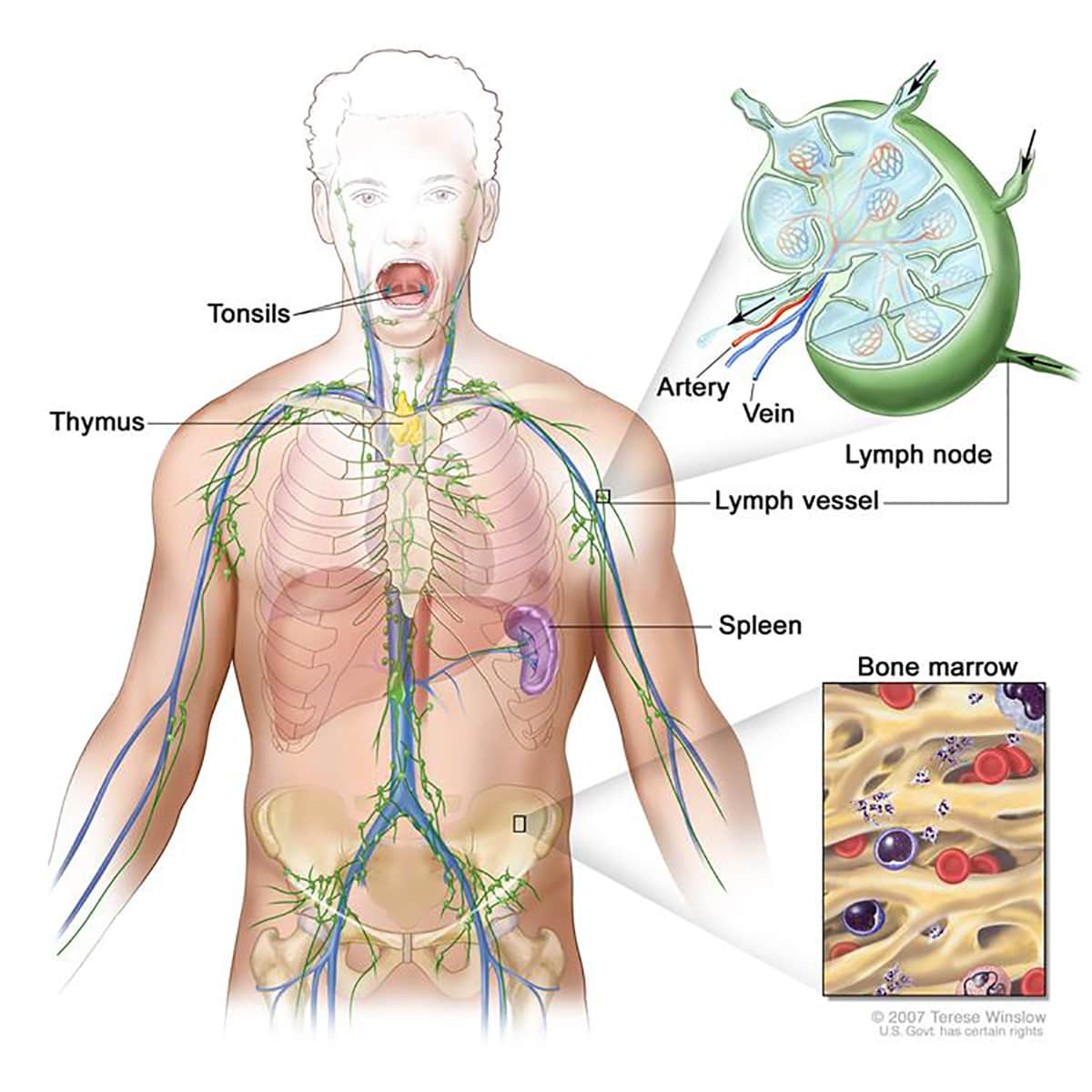 illustration of a lymphatic system