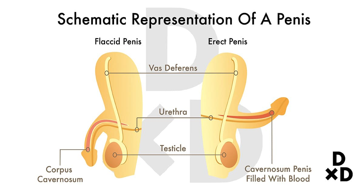 comparison of a flaccid and erect penis