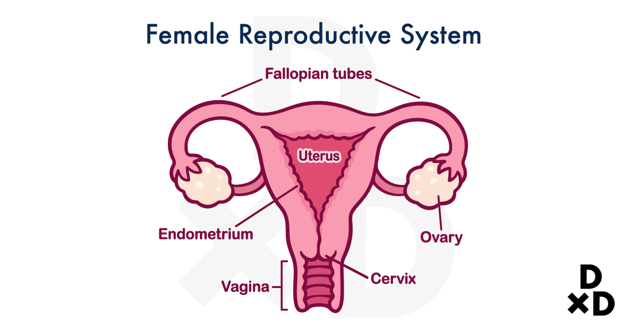 illustration-of-female-reproductive-system