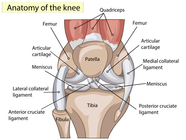 knee anatomy singapore