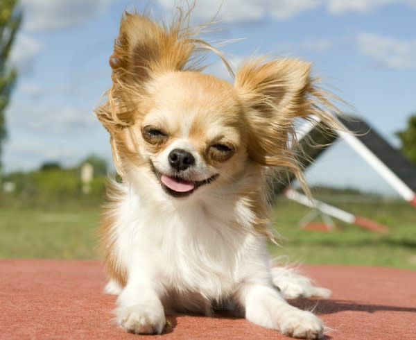 portrait of a cute purebred chihuahua in a training of agility