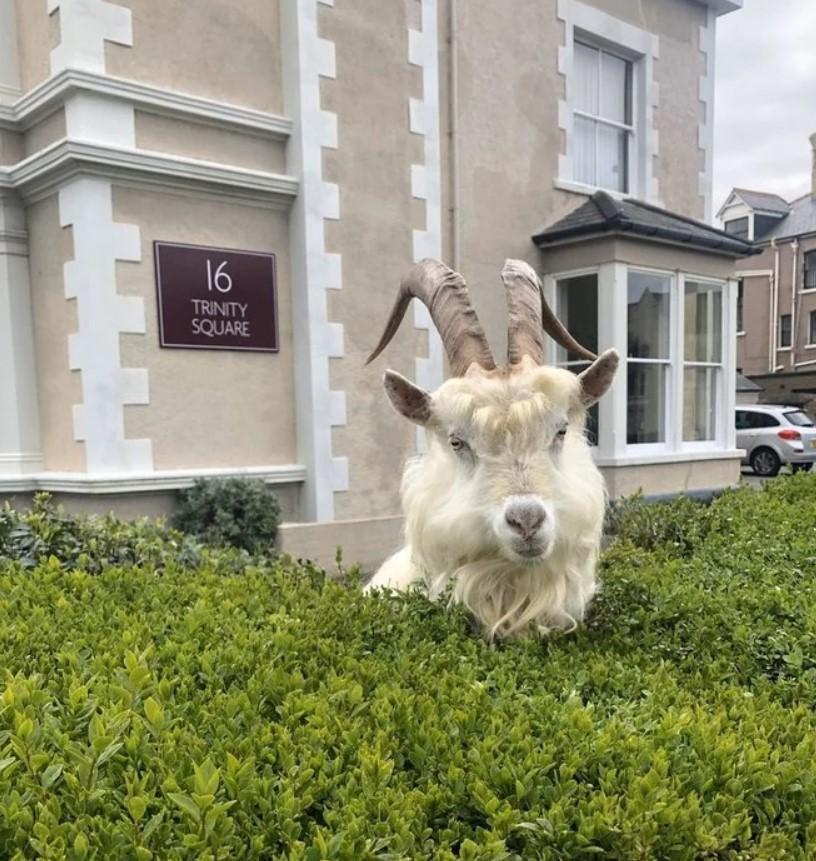 Козлы вы самые настоящие! Городок в Уэльсе заполонили очень симпатичные животные