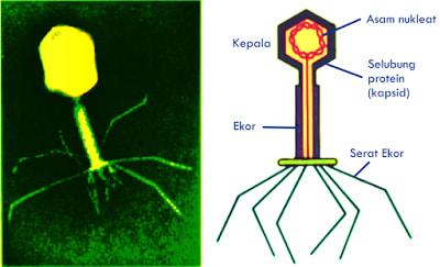 Ciri-Ciri dan Struktur Virus