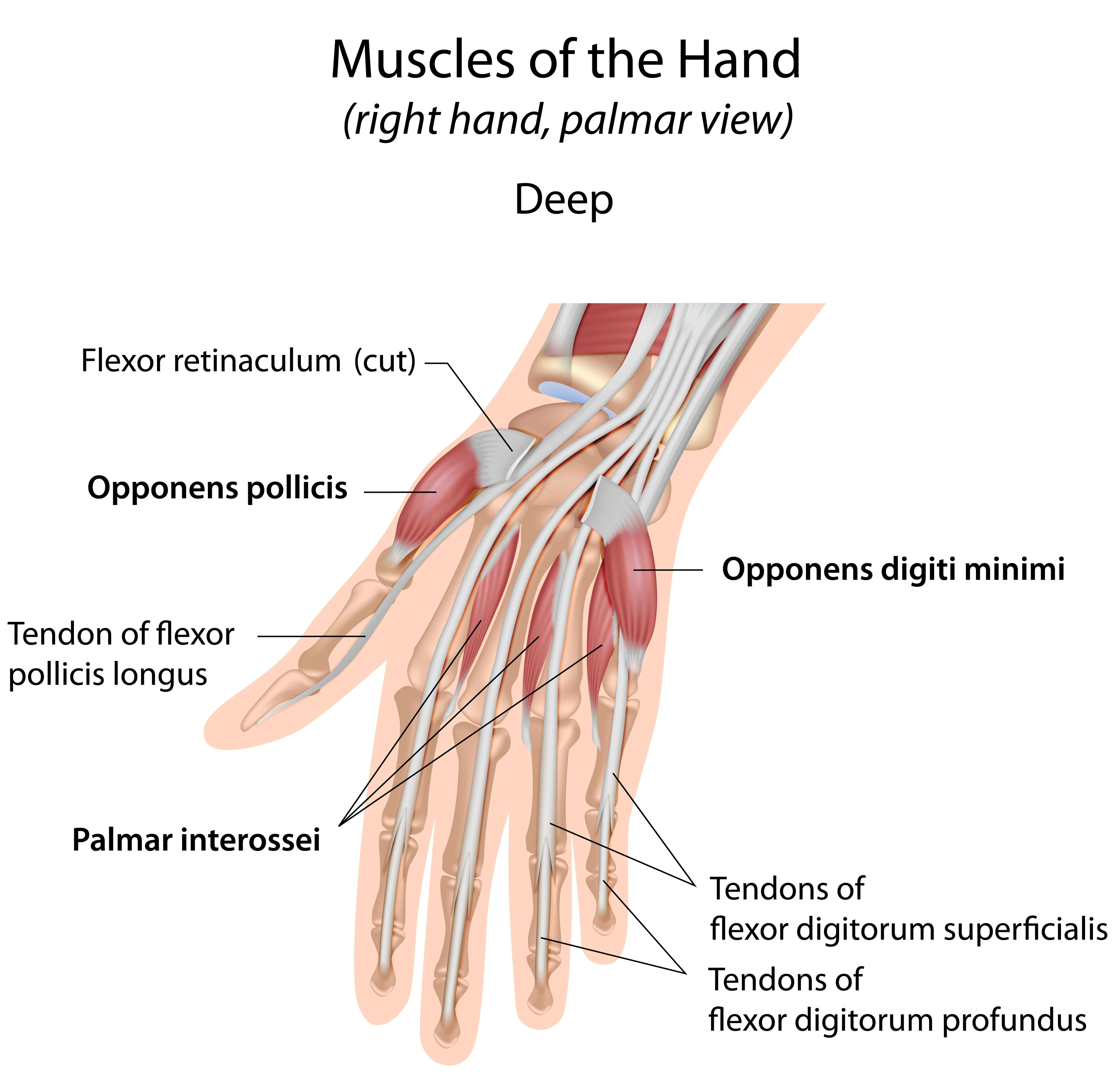 Nett Hand Muskeln Und Sehnen Galerie - Menschliche Anatomie Bilder ...