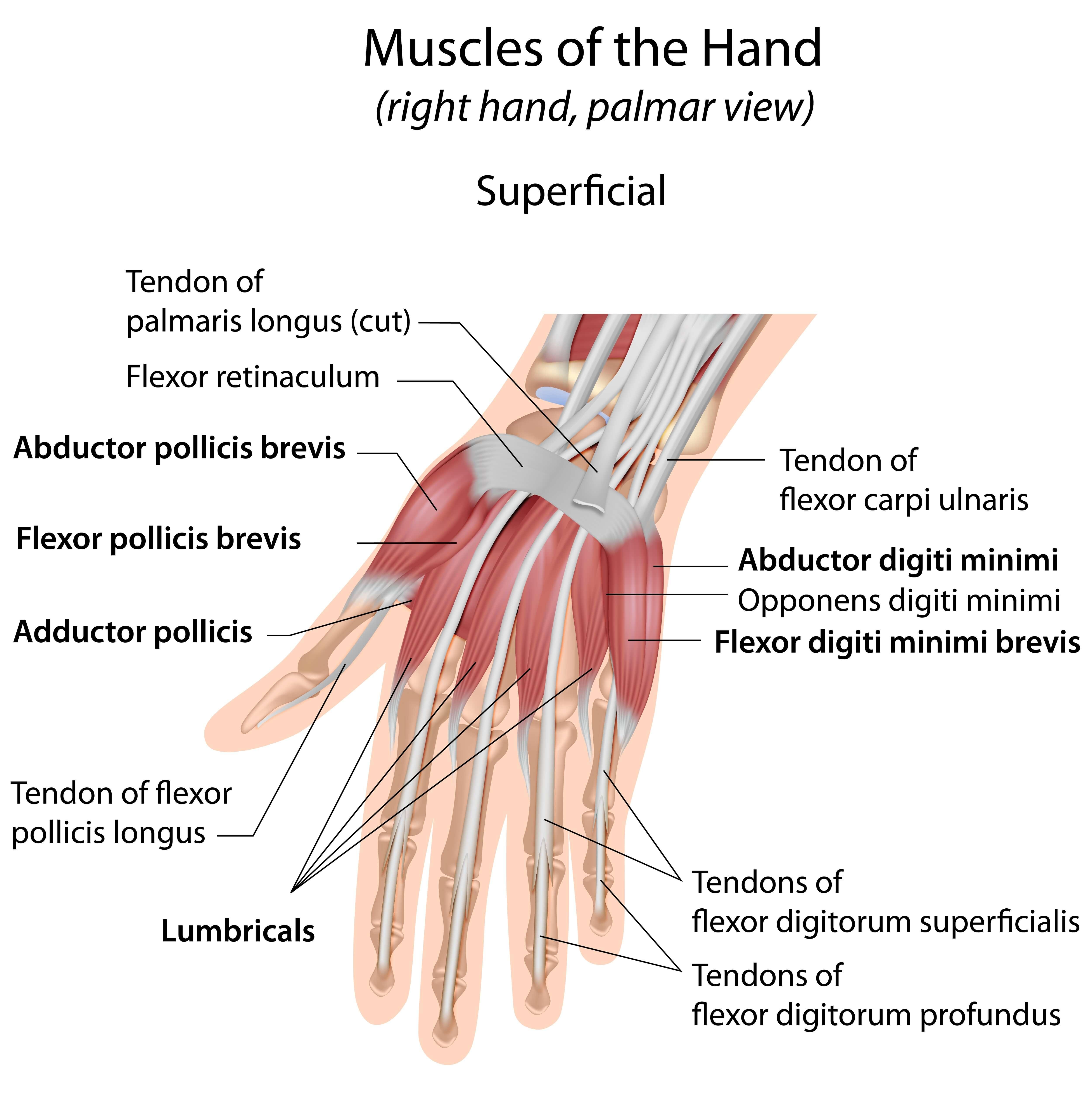 Musculus flexor digitorum profundus - sportbachelor