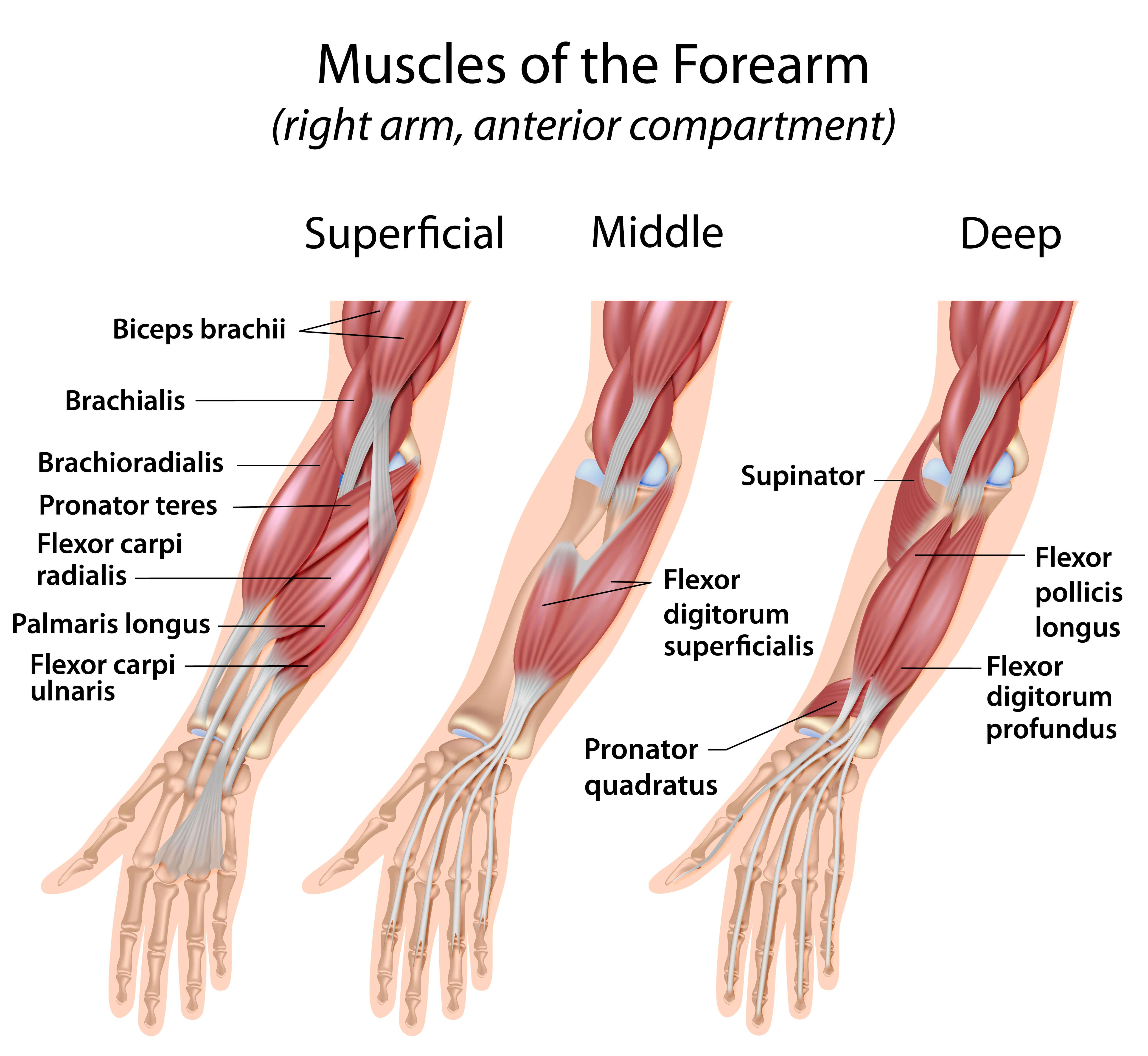 Tolle Unterarm Anatomie Muskeln Zeitgenössisch - Menschliche ...