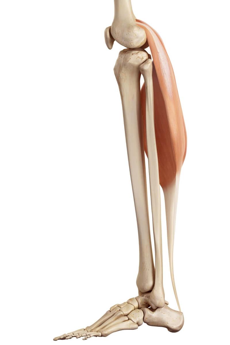 Musculus gastrocnemius - sportbachelor
