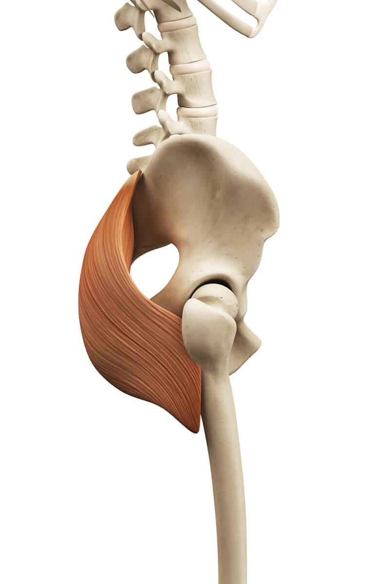 Musculus glutaeus maximus - sportbachelor
