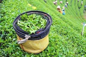 TEA TOURISM PROGRAM