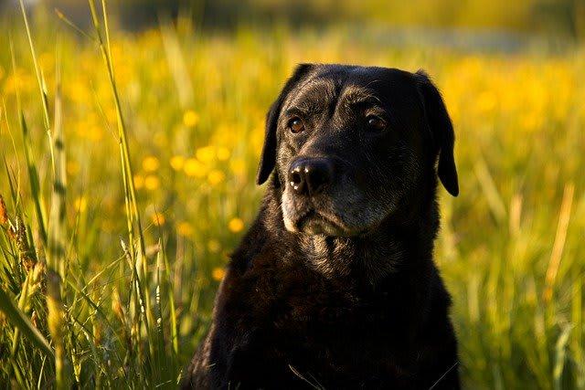7 Ways to Keep Your Labrador Happy