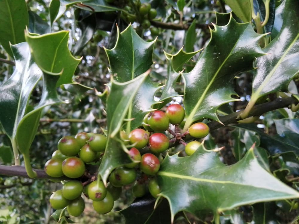 Close up of holly berries on a holly tree