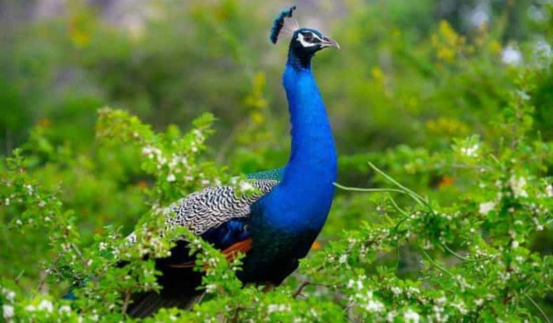 Peacock at Gal Oya National Park