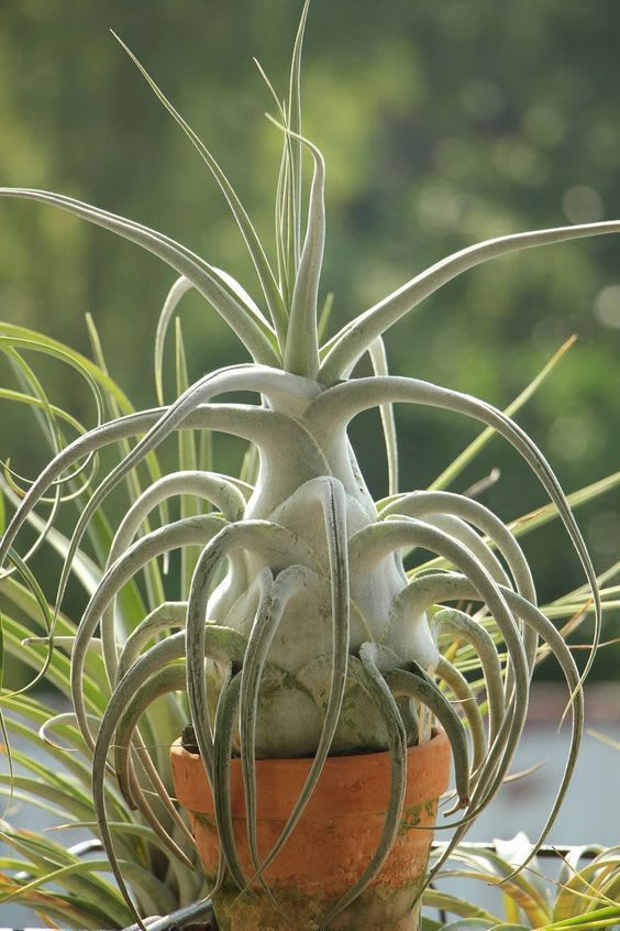 trendy houseplants, tillandsia air plant