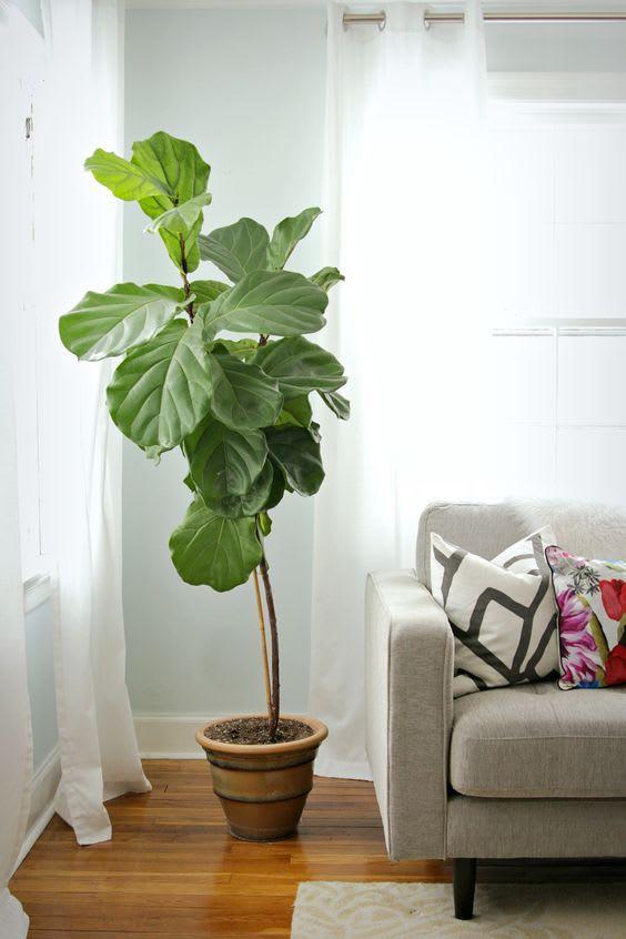 trendy houseplants, fiddle leaf fig plant