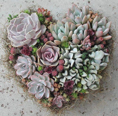 Succulents heart