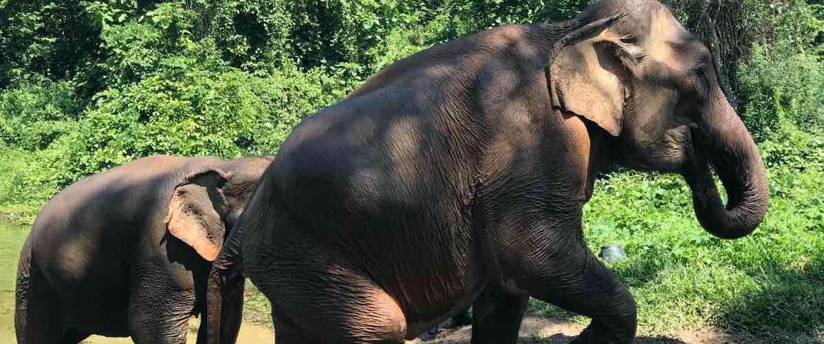 éléphants au laos