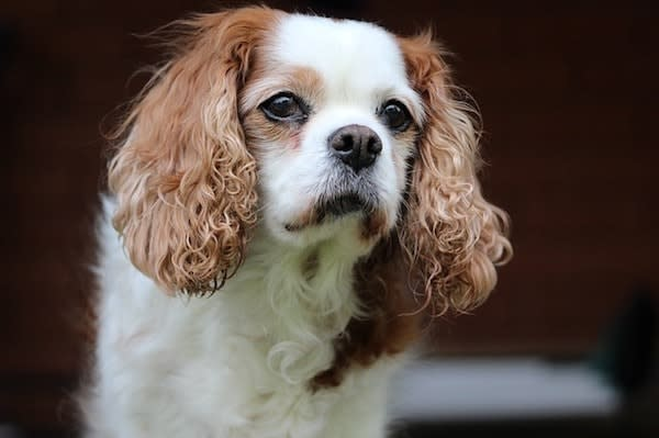 king charles dog