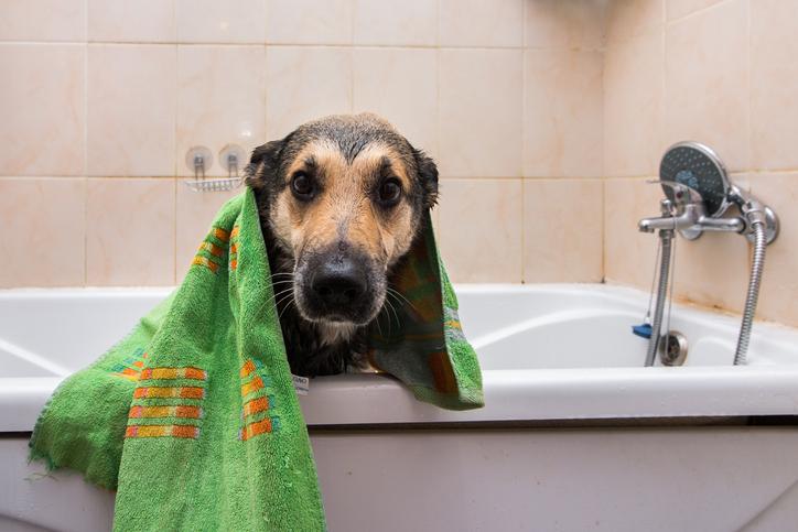 clean dog after a bath