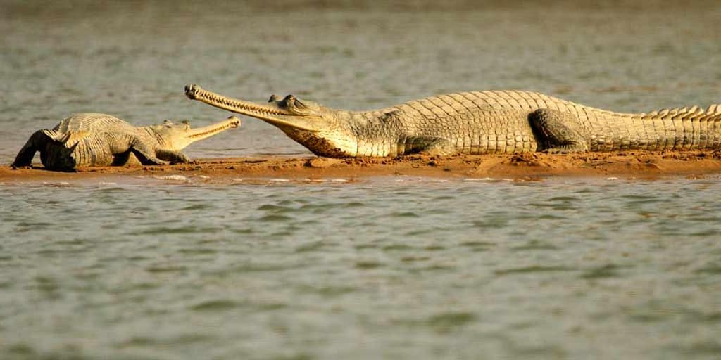 crocodile safari goa nightlife
