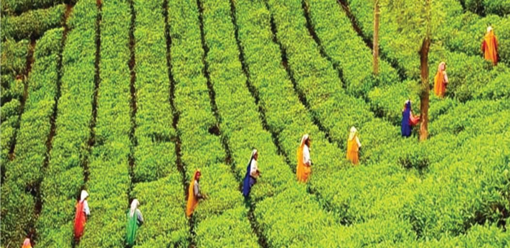 Places to visit in Munnar in 1 day - tea estates