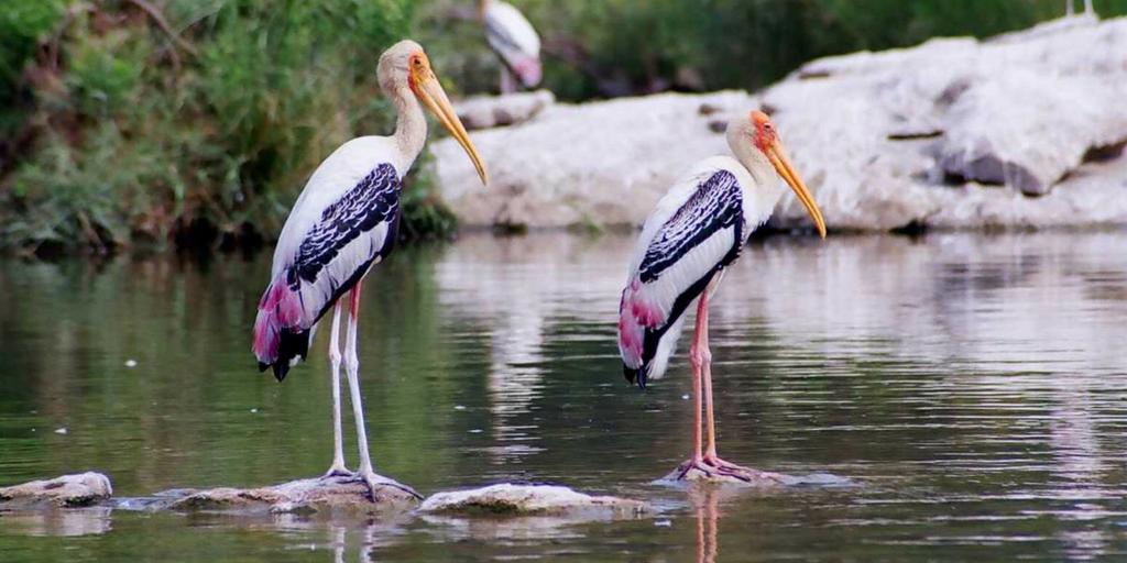 Places to visit near Mysore-Ranganathituu bird sanctuary